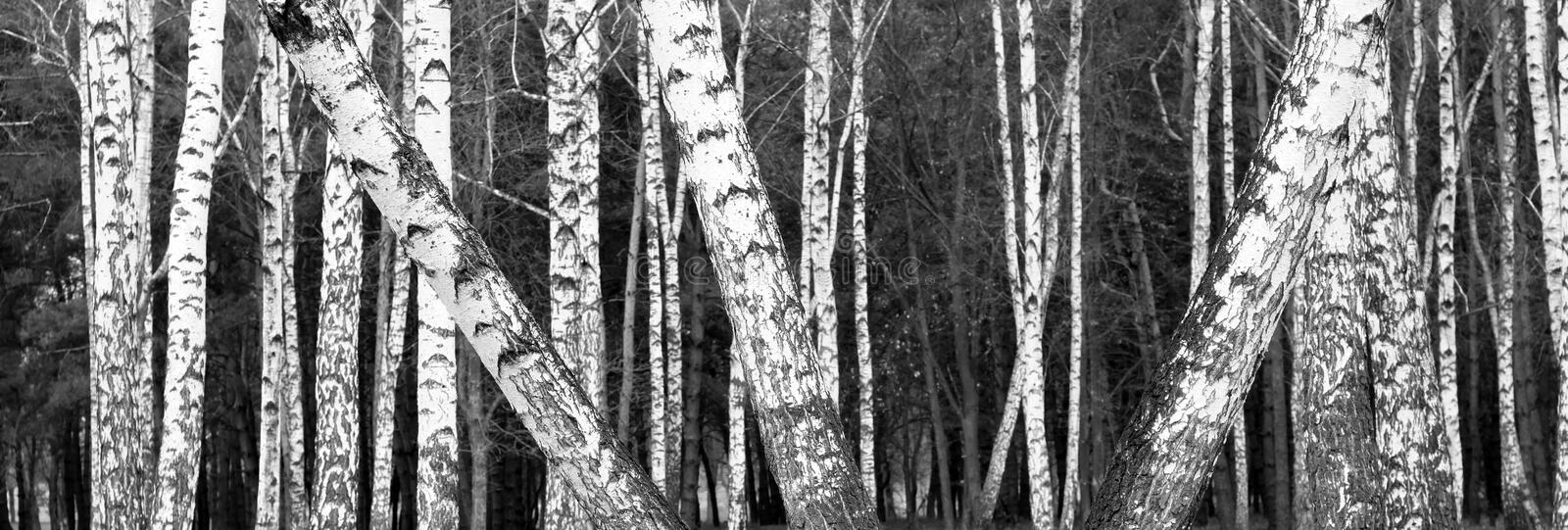 Black and white photo of black and white birches. In birch grove with birch bark between other birches royalty free stock image