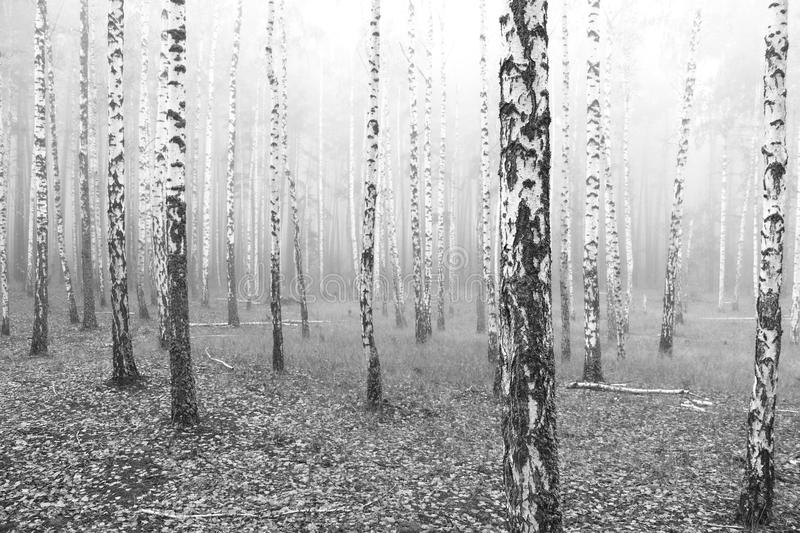 Black and white photo of black and white birches. In birch grove with birch bark between other birches royalty free stock photos