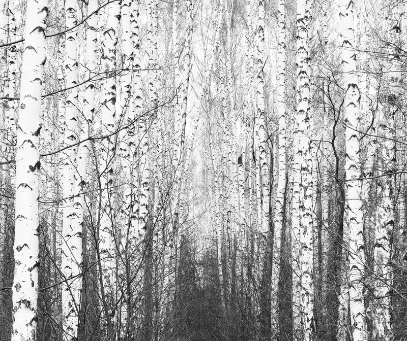 Black and white photo of black and white birches. In birch grove with birch bark between other birches stock photos