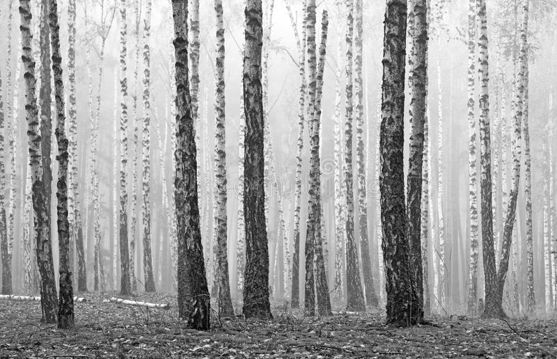 Black and white photo of black and white birches. In birch grove with birch bark between other birches stock images