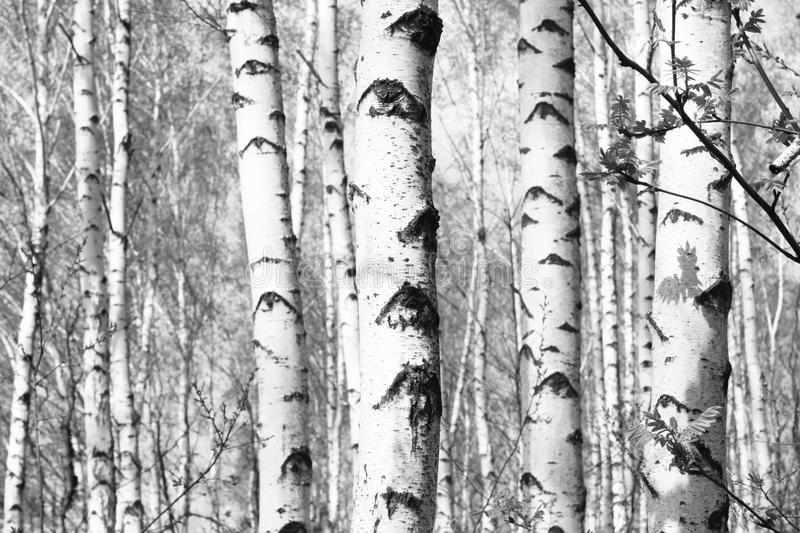 Black and white photo of black and white birches. In birch grove with birch bark between other birches royalty free stock images