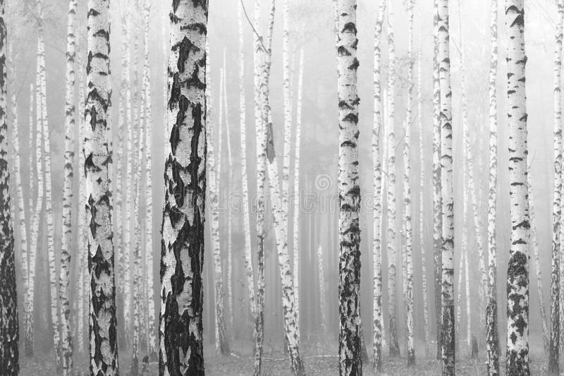Black and white photo of black and white birches. In birch grove with birch bark between other birches stock photography