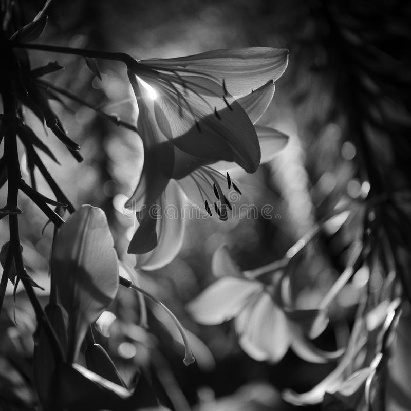 The hidden beauty of lilies. Black and white photo of blooming lilies during night time showing their hidden beauty