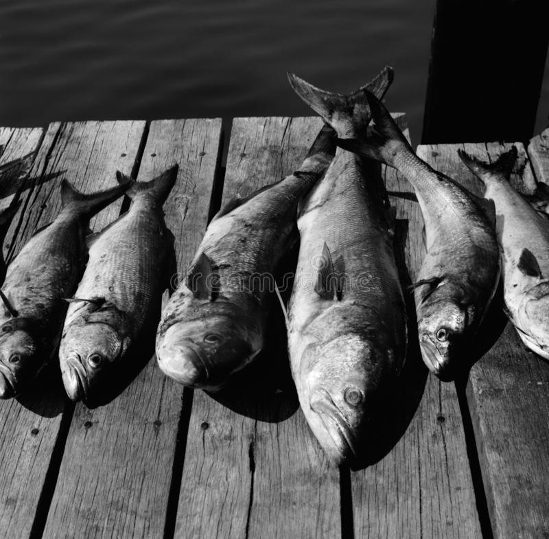 Big Bluefish on the Dock. Black and white photo of bluefish caught in the chesapeake bay near point lookout. Bluefish were incredibly abundant many years ago stock photos