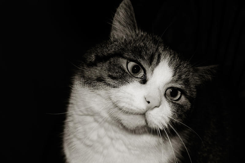 Black and white photo of a cat. Muzzle royalty free stock image