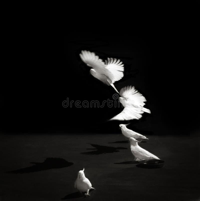 Black and white photo of Cockatoos royalty free stock photos