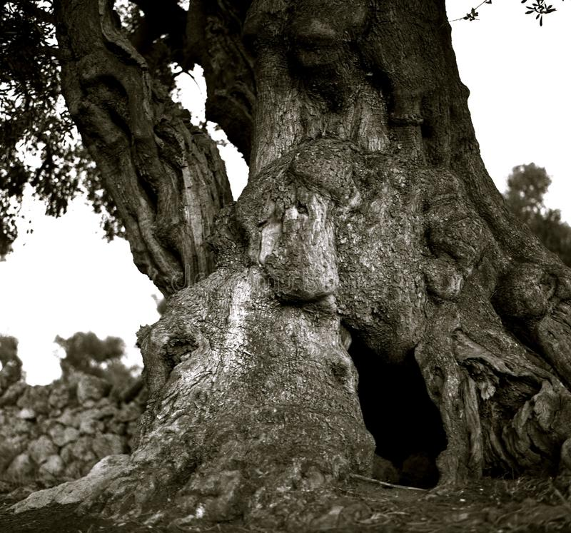 A powerful spreading and cracking trunk of an old olive stock photo
