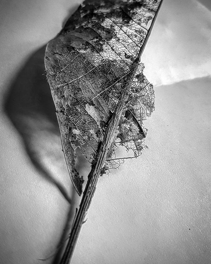 Black and white photo of dead leaf royalty free stock images
