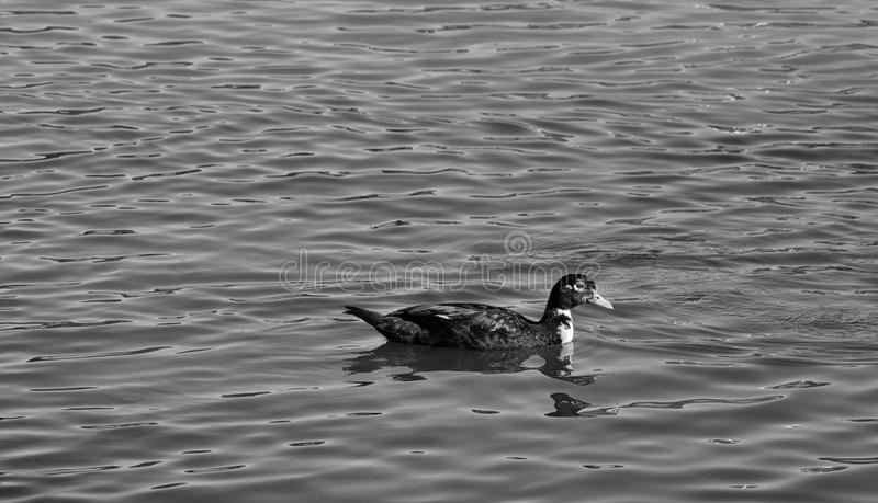 Lake Duck in Black, White, and Grey royalty free stock photos