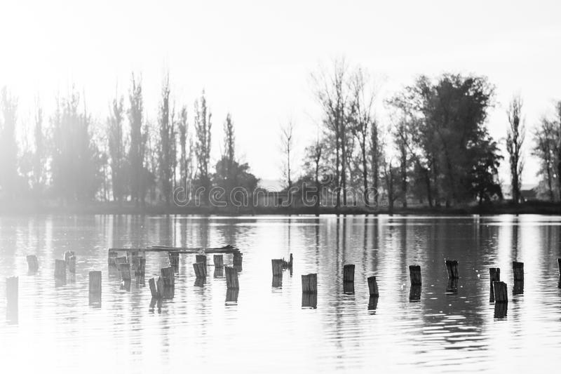Black and white photo of flooded tree trunks from felled trees with reeds and vegetation stock images