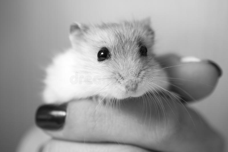 Black and white photo of hamster in a female hand royalty free stock photo