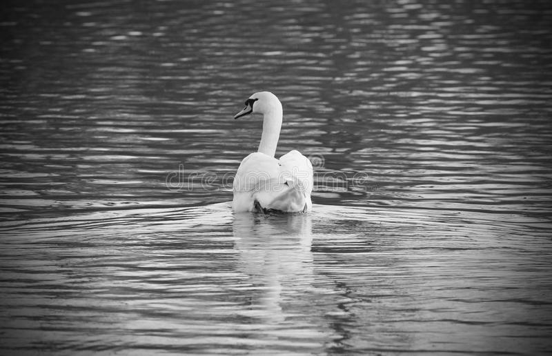 Black and white photo of mute swan. Black and white photo of beautiful white mute swan Cygnus olor swimming on the pond stock images