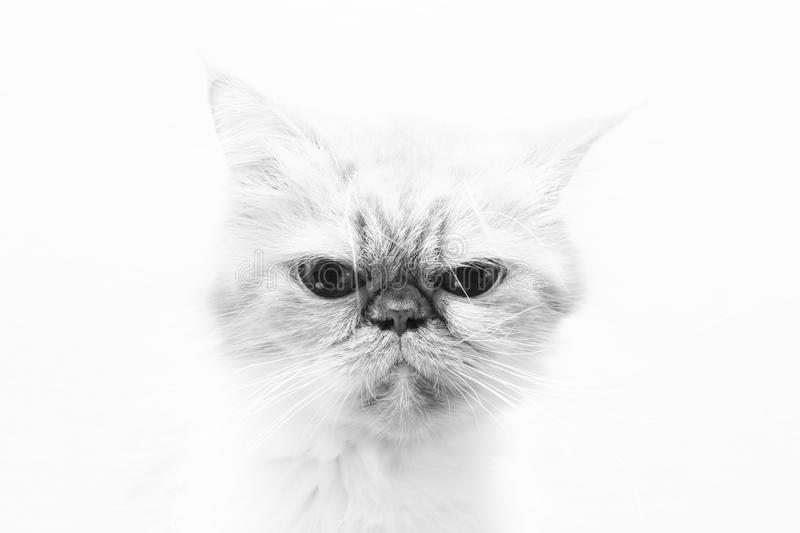 Black-and-white photo with a portrait of sad cat on white background. That looks at camera stock photography