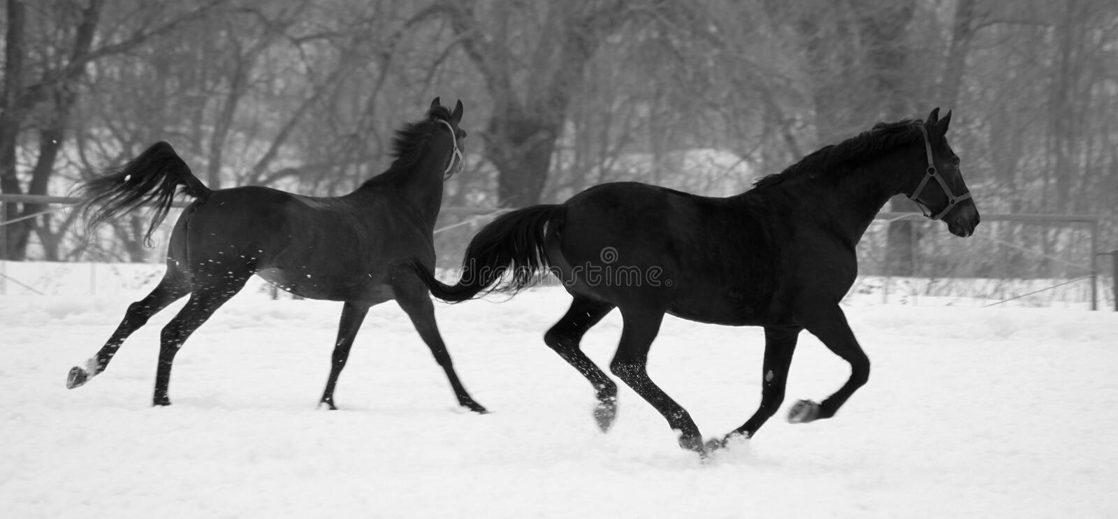 Black and white photo in retro style with beautiful black and gray horses royalty free stock images