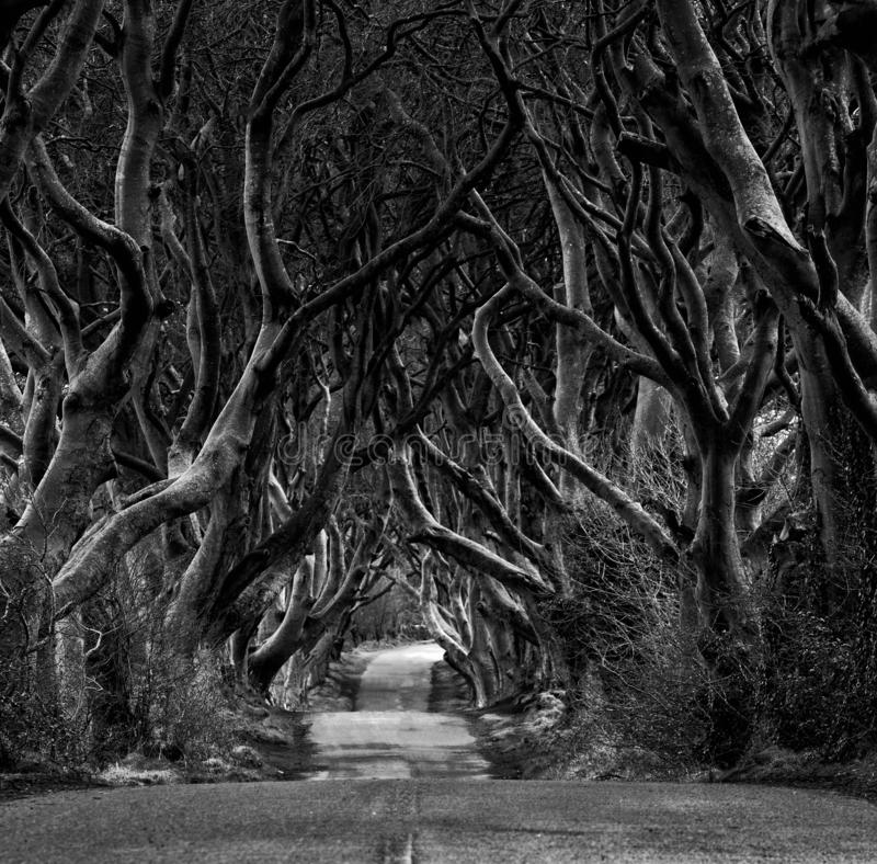 Black and white photo of Road through the Dark Hedges  a unique beech tree tunnel road n Ballymoney, Northern Ireland. Game of. Thrones location stock image