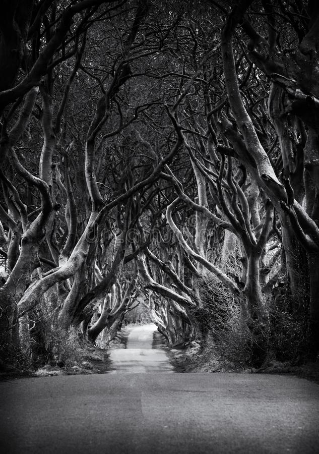 Black and white photo of Road through the Dark Hedges  a unique beech tree tunnel road n Ballymoney, Northern Ireland. Game of. Thrones location stock photography