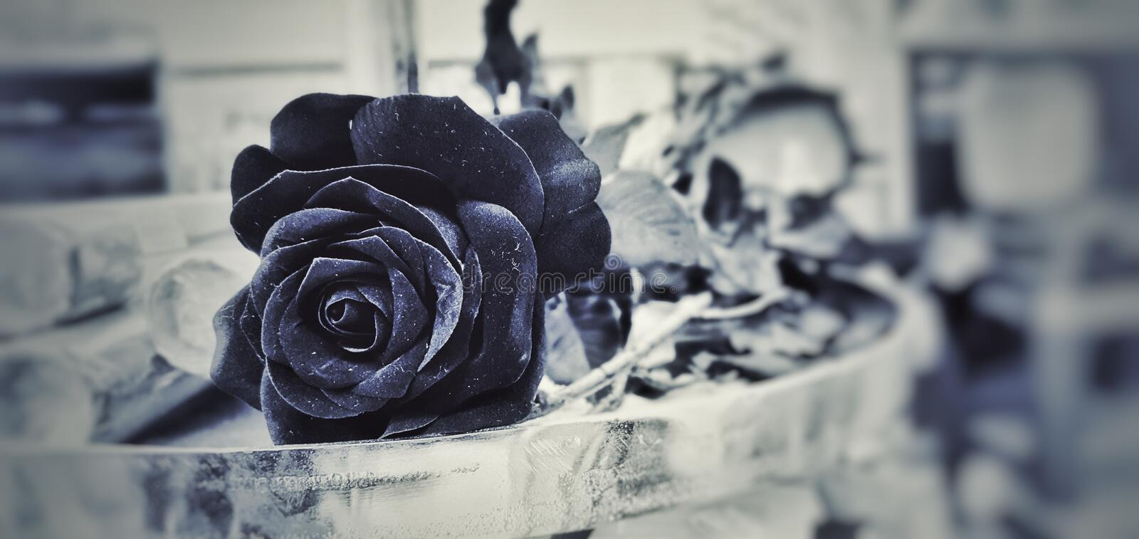 Black and white photo of a black rose. stock photo