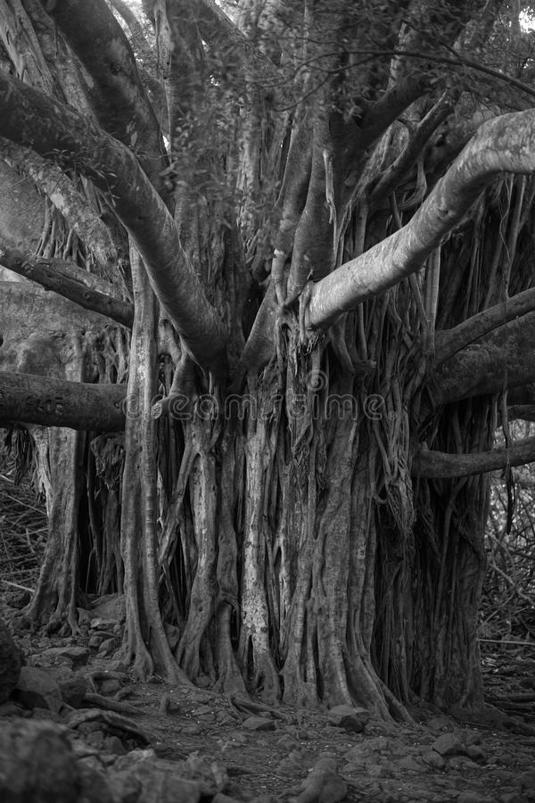 Black and white photo Spooky Tree royalty free stock photography