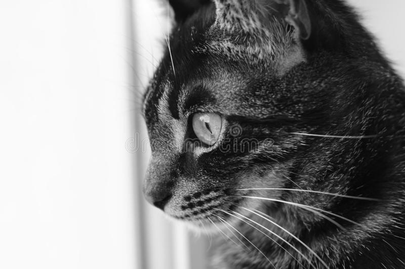 Black and white photo of striped cat royalty free stock photography
