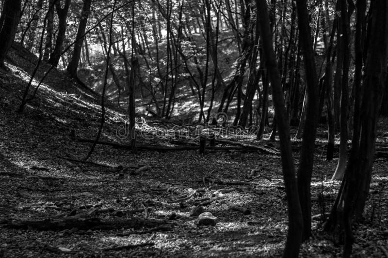 Black and white photo sun beams pour through trees in forest royalty free stock photos