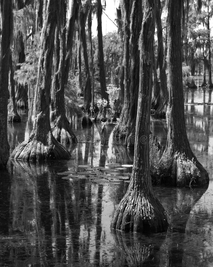 Trees In The Swamp royalty free stock photo