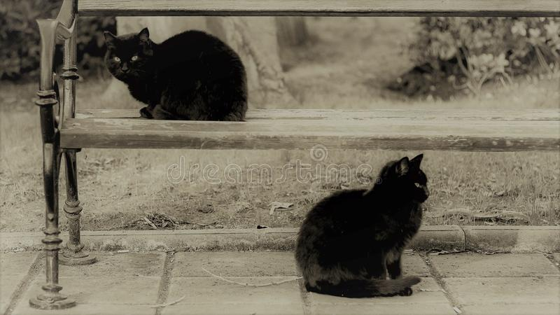 Black and white photo, two cats are sitting in the park, one on the bench royalty free stock photos