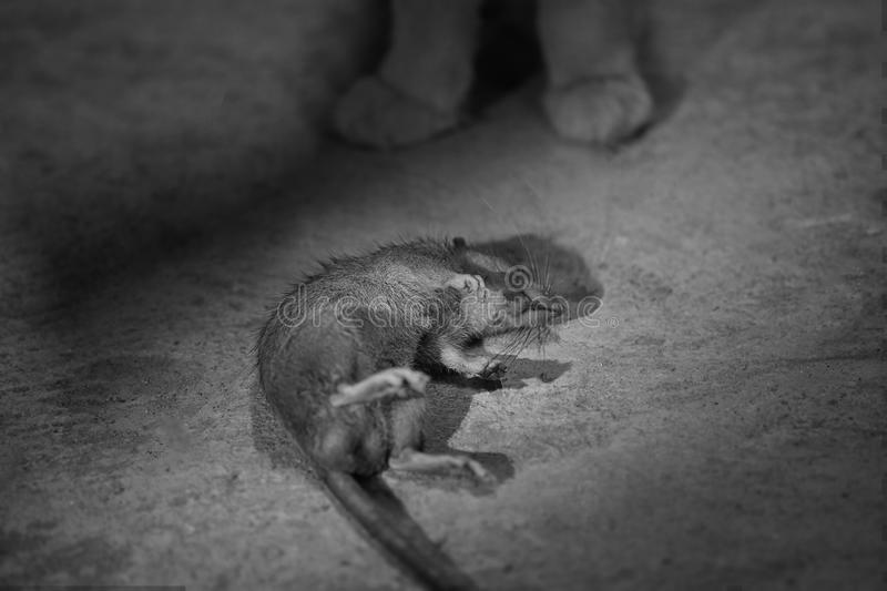 Black and white photo of victim mouse with cat hunter. Black and white photo of victim mouse with cat hunter royalty free stock photos
