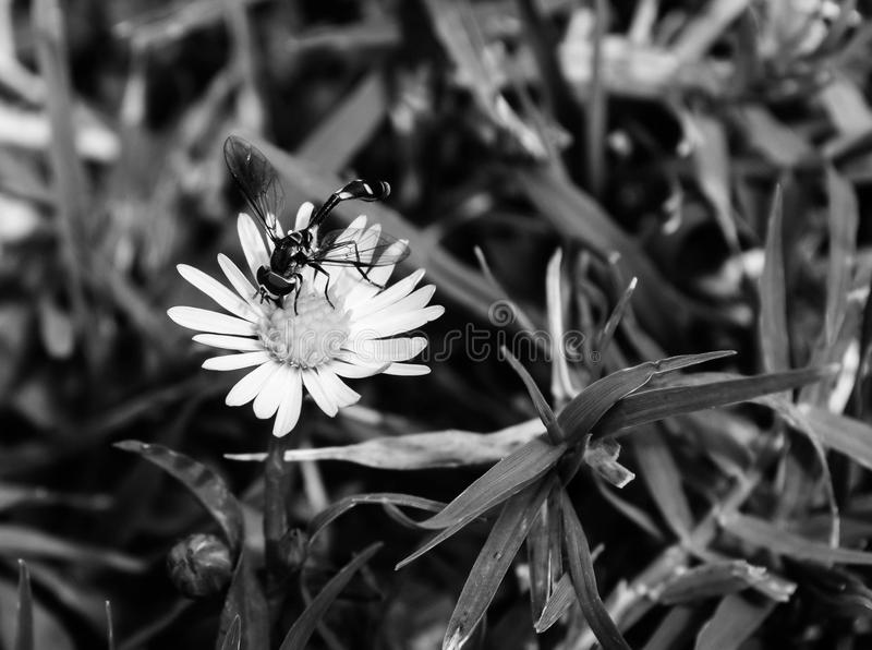 Macro, top view photo of a wasp sucking pollen from white wildflower. Black and white photo of a wasp outside on a white and yellow wild flower royalty free stock photography
