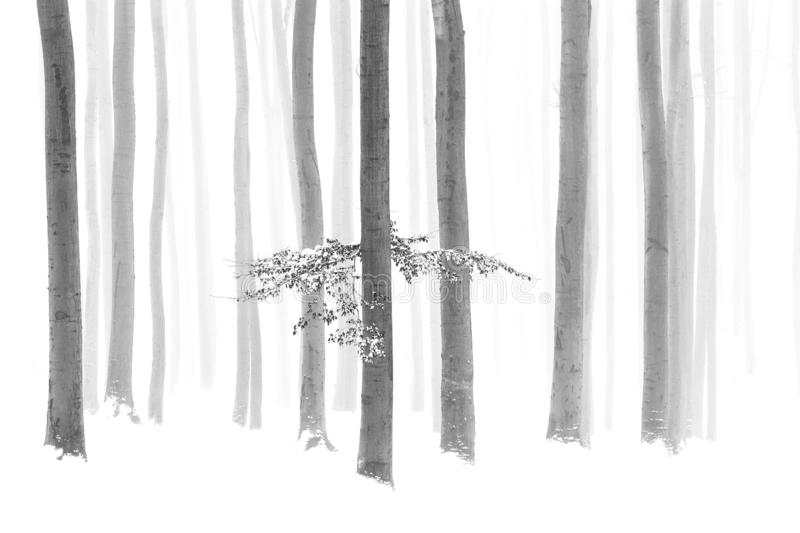 Black and white photo of winter snowy forest, bare tree trunks, fog. Gy background royalty free stock photography
