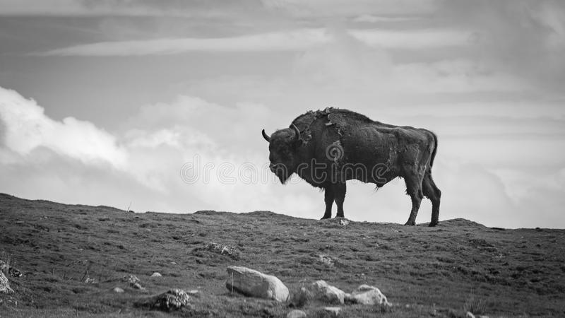 A black and white photograph of a European Bison standing on a ridge.  royalty free stock photo