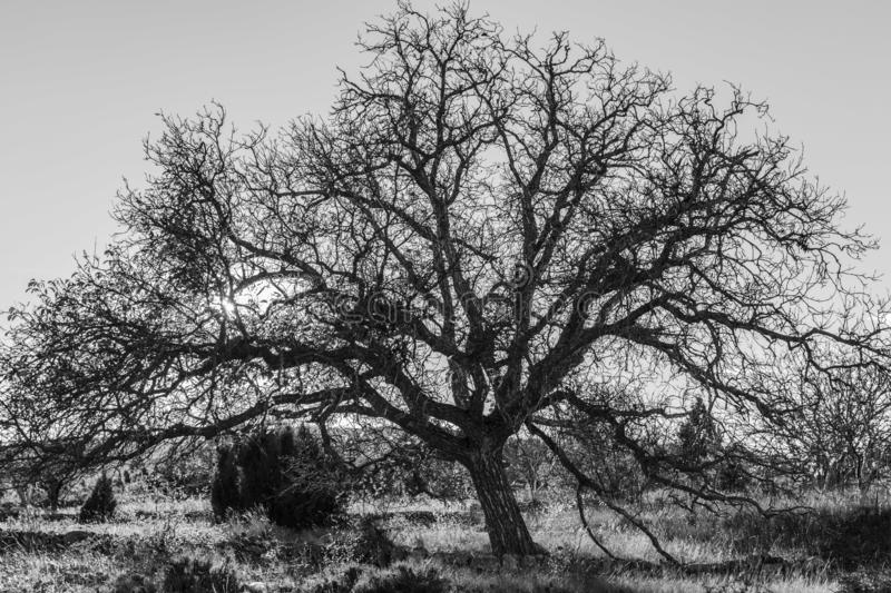Black and white photograph of a giant tree on a sunny morning and sunstar among the branches.  royalty free stock images