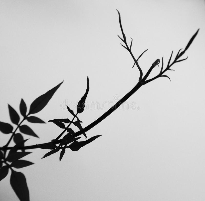Black and White abstract photograph of a Jasmine plant. A Black and White photograph of a Jasmine plant reflection. Abstract type image in a bird shape stock photo