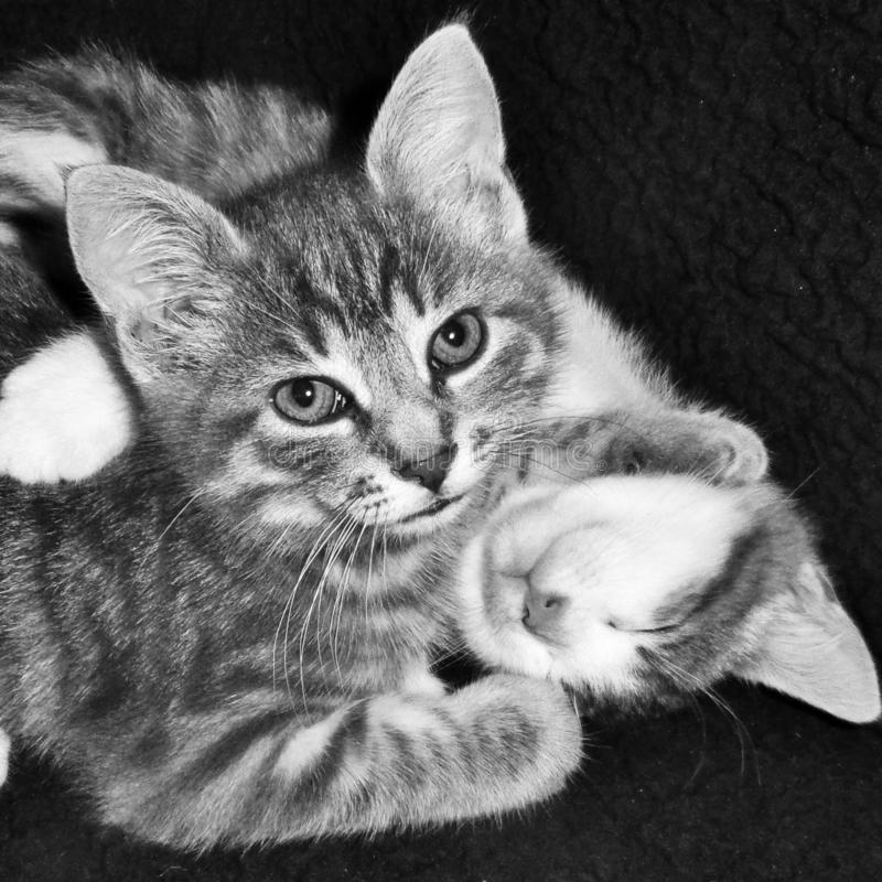 Black and white photograph of two kittens.  stock image