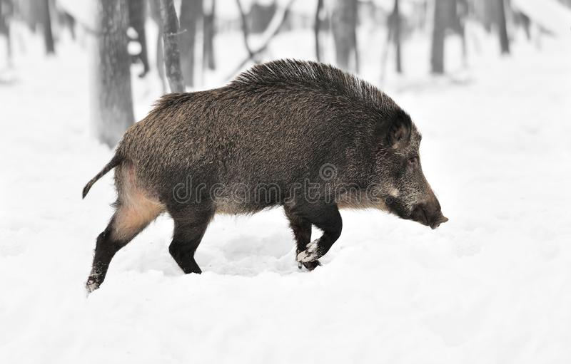 Black and white photography with color wild boar stock photography