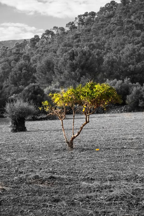 Black and white photography with a colour accent: Spanish landscape with a lonely little green tree on a wide field. In summer stock photos