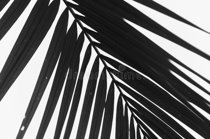Black and white photography of Cycas revoluta leaves. stock images
