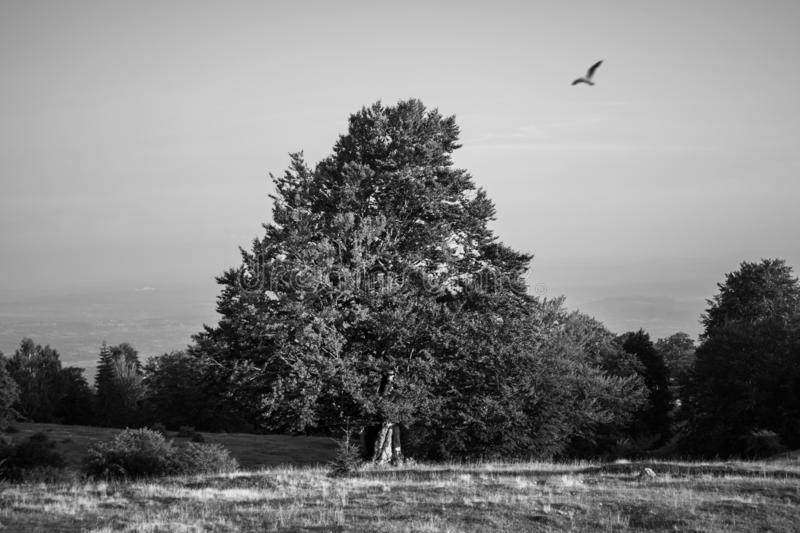 Black and white photography. an old tree that is on a beautiful green field, on a beautiful summer day, near the evening. a big bi royalty free stock photography