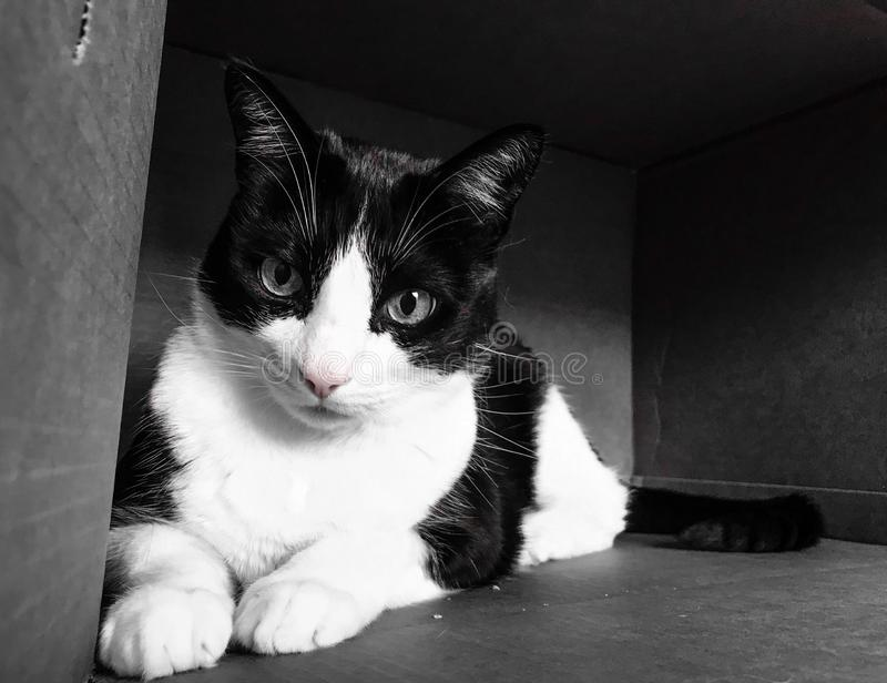 Tuxedo cat. Black and white photography of a tuxedo cat lying in a cardboard box royalty free stock images