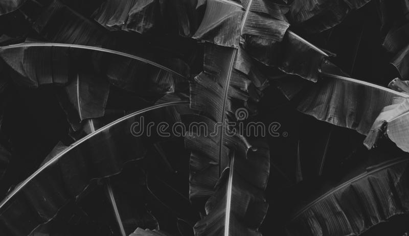 Black and white picture of banana leaves abstract background. Dark tone of leaves in tropical jungle. Foliage nature background.  stock images