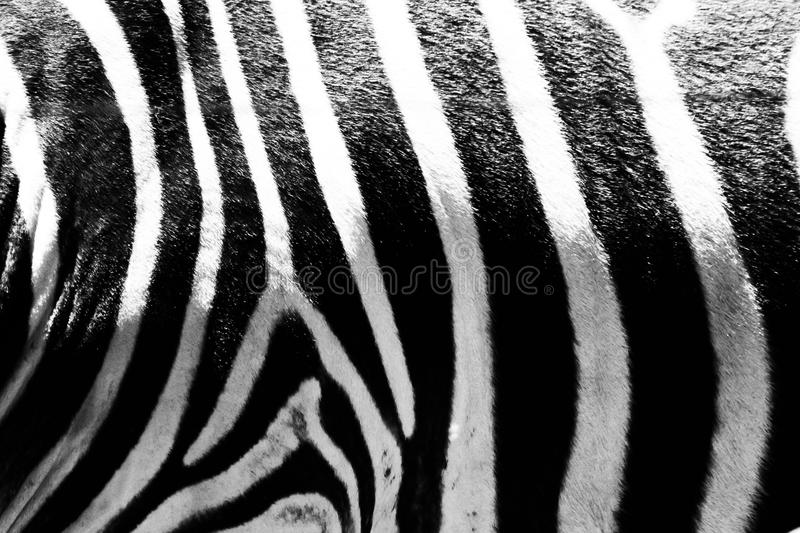 Black and white picture close up zebra& x27;s skin. Black and white photograph. Close up shot and crop just a part of body to show zebra skin stripe pattern stock image
