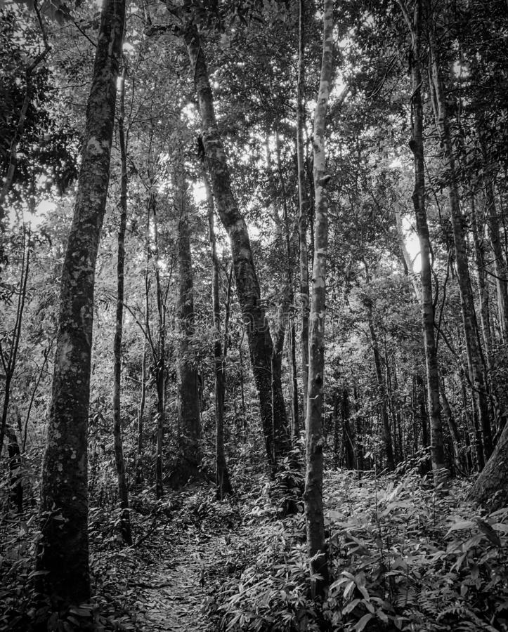 Black and white picture of forest and walkway for trail or meditation. Natural pathway in woods. Tall trees in the forest. Overgrown tropical forest royalty free stock photography