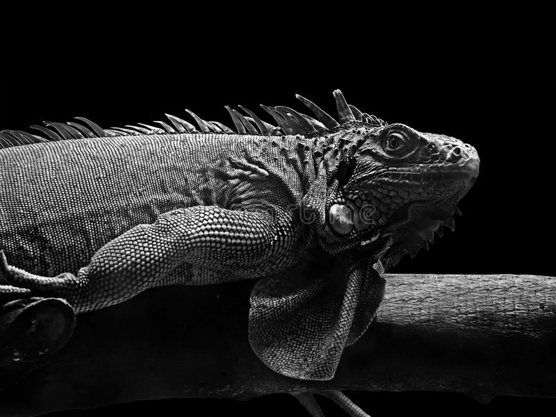 Black and White Picture of Iguana Lie Down on Piece of Wood on B. Black and White Picture of Iguana Lie Down on Piece of Wood Isolated on Black Background royalty free stock image