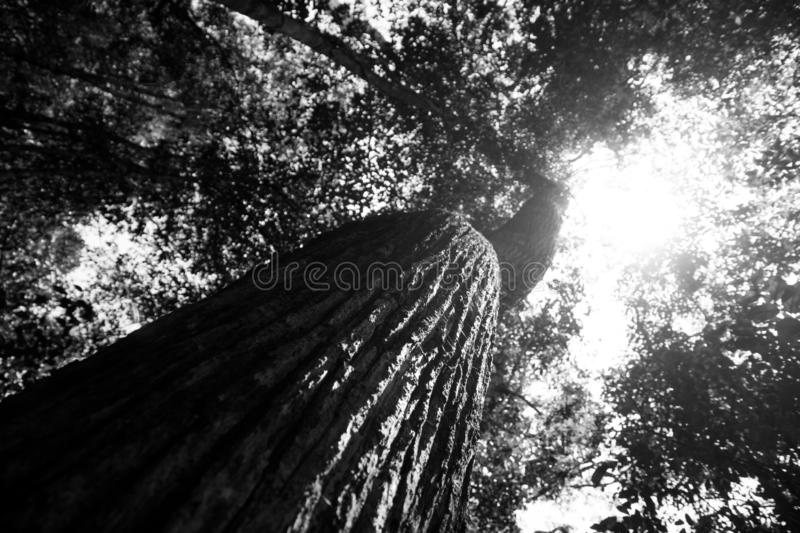 Black and white picture of leaves in rainforest from below. View of branch and trunk from below with big leaves, rainforst vegetation in malaysia royalty free stock image