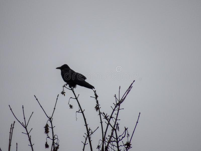 Black and white picture with natural Light of a Crow on trees branches. Black and white picture with natural Light of a Crow on trees royalty free stock image