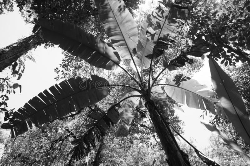 Black and white picture of palm tree seen from below. View of branch and trunk from below with big leaves, rainforst vegetation in malaysia stock photography