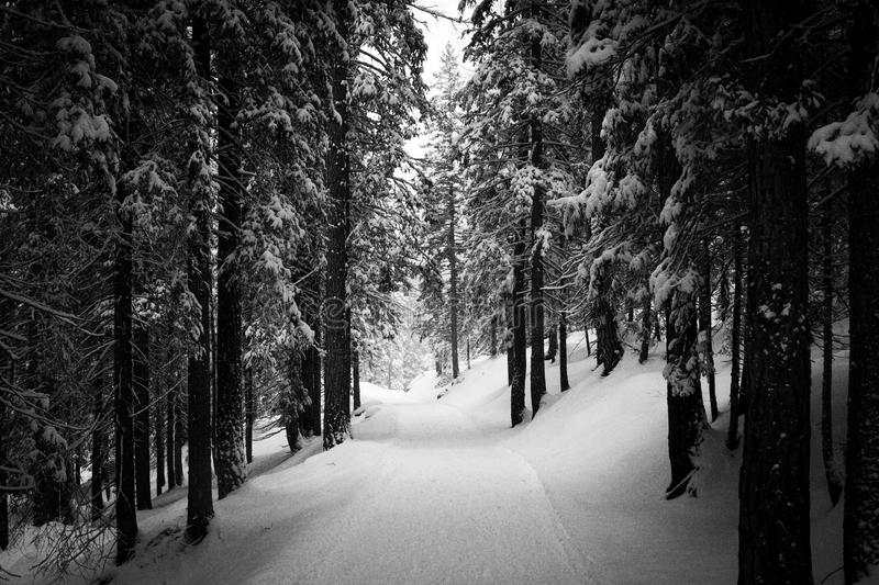 Black and white picture of a road covered in snow in a wood, Cor. Black and white picture of a road covered in snow in a pine trees wood, Cortina D`Ampezzo stock photo