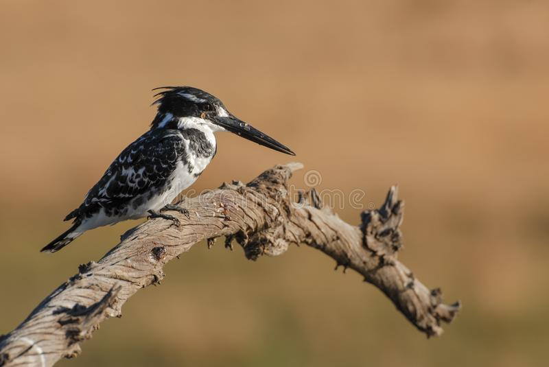 Black and white pied kingfisher bird on dead branch royalty free stock photography