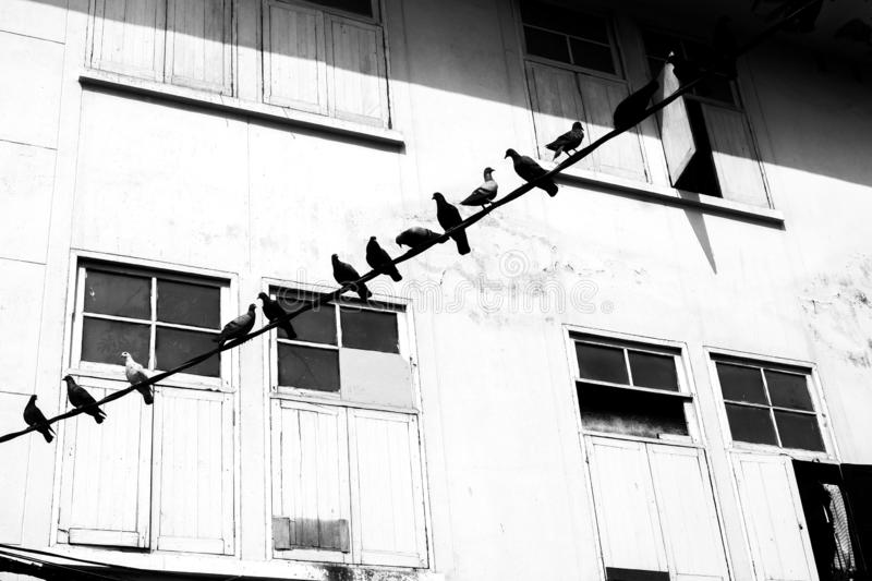 Black and white Pigeons sitting on wires with background building , flying royalty free stock photography