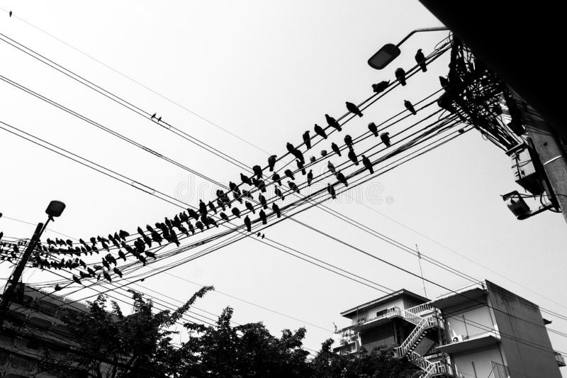 Black and white Pigeons sitting on wires, flying stock photography