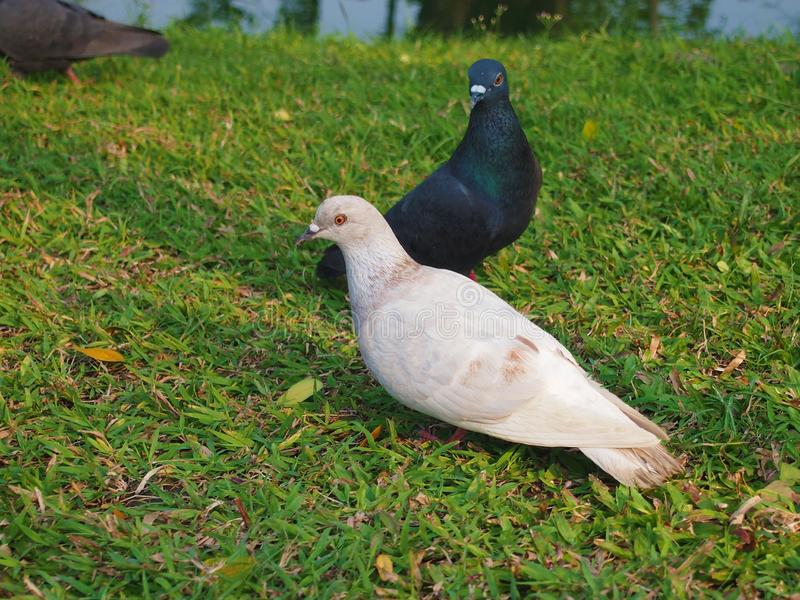 Black and White Pigeons royalty free stock photos